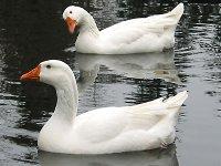 geese02.jpg