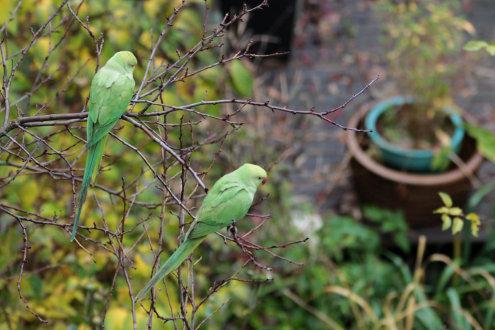 parakeets-amsterdam-branko-collin