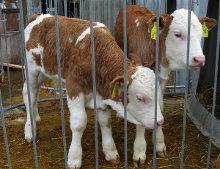 calves-orangemaster