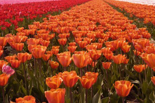 tulips-PK